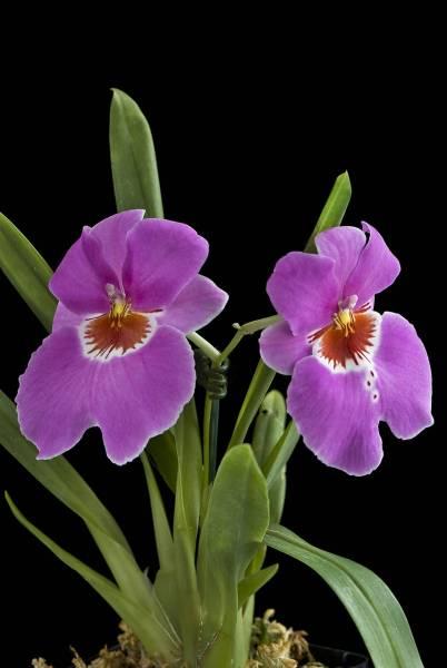 Miltoniopsis Jean Carlson 'Desire'