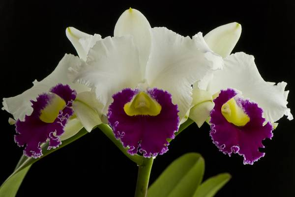 Lc. Orglade's Grand 'Yu-Chang Beauty
