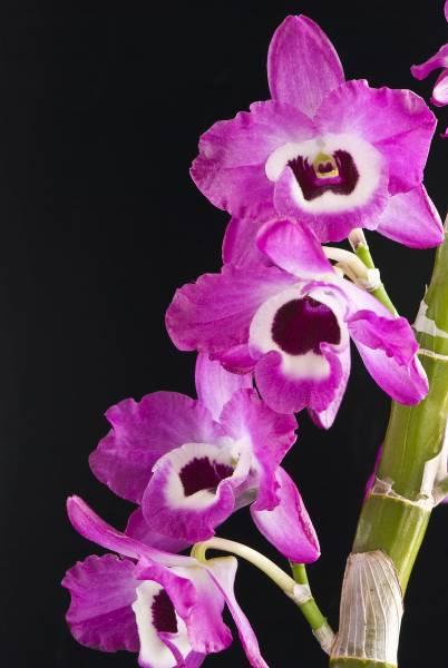 NOID Nobile Dendrobium