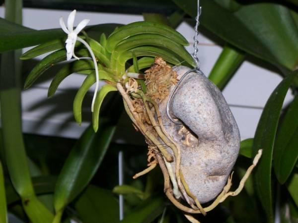 Neofinetia falcata Hoenggnag flower open