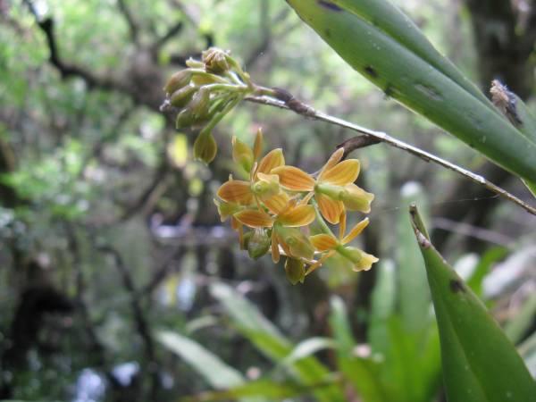Epidendrum amphistomum