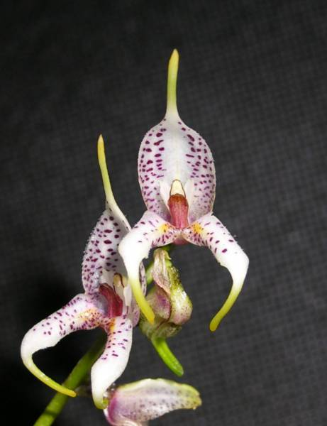 Masdevallia_Caloptera1