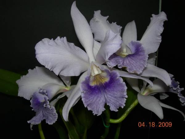 Lc. Canhamiana coerules 'Azure Sky' X c. gaskelliana coerules 'Santos'