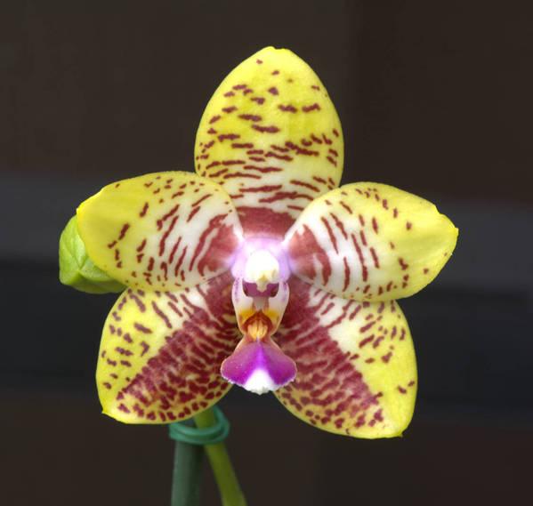 Phal. Orchid World 'Bonnie Vazquez'