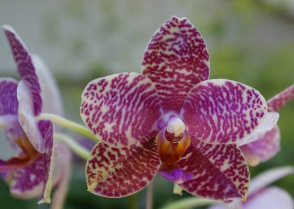 Phal. (John Ewing x Free Gold)