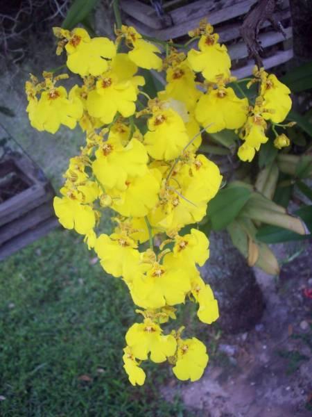 lemon sented burana beauty