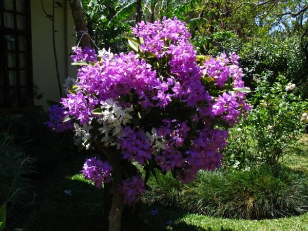 Guarianthe skinneri sp and var. oculata