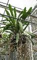 CALLAS ORCHIDS -ANGREACUM EBERNUM   VERY LARGE  SPECIMEN