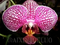 Grossular Red King X Amabilis Phalaenopsis-Or...