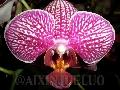 Grossular Red King X Amabilis Phalaenopsis-Orchids -Rare