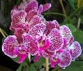 Phalaenopsis hybrids or mericlones in flasks,