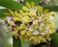 Gastrochilus obliquus in Bud