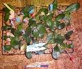 P. Minho Princess x (P. New Cinderella x P. Sun Princess) seedlings