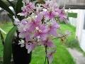 "ISO Epidendrum Wedding Valley 'Sakura"""