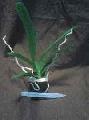 Vanda, Ascocenda Orchid, ASCDA Kulwadee Fragrance No.27, Blue Spotted Orchid