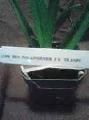 Vanda, Renanthera, LV69 Ren. Phillipinensis X Dr. Anek, RED