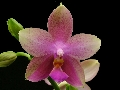 looking for Phal. Sweet Memory 'Liodora' or 'Amy Dawn'