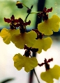 Wanted: Oncidium Killer Bees, Epidedrum Ilens...