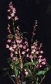 Have: divisions of Dendrobium kingianum,  Maxilaria tenuifolia, Epidendrum radicans (keikis) asst crytanthus well rooted pups, epi oxypetalum large cutting, blue agave lg rooted pup, Stapelia gigantea cutting