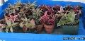 Potted Cryptanthus (bromeliad) /Earth Stars