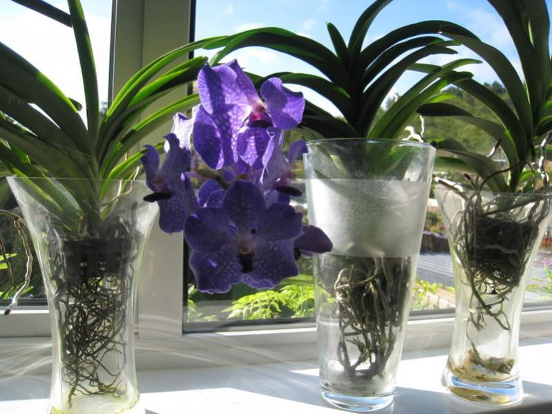 Deflasking Vandas Advice Needed For Their Care Please Vanda Vase Method