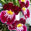 Miltoniopsis Hajime Ono x Robert Jackson-966ae031-1d6a-4966-a7d6-b0624bf3ffcf-jpg