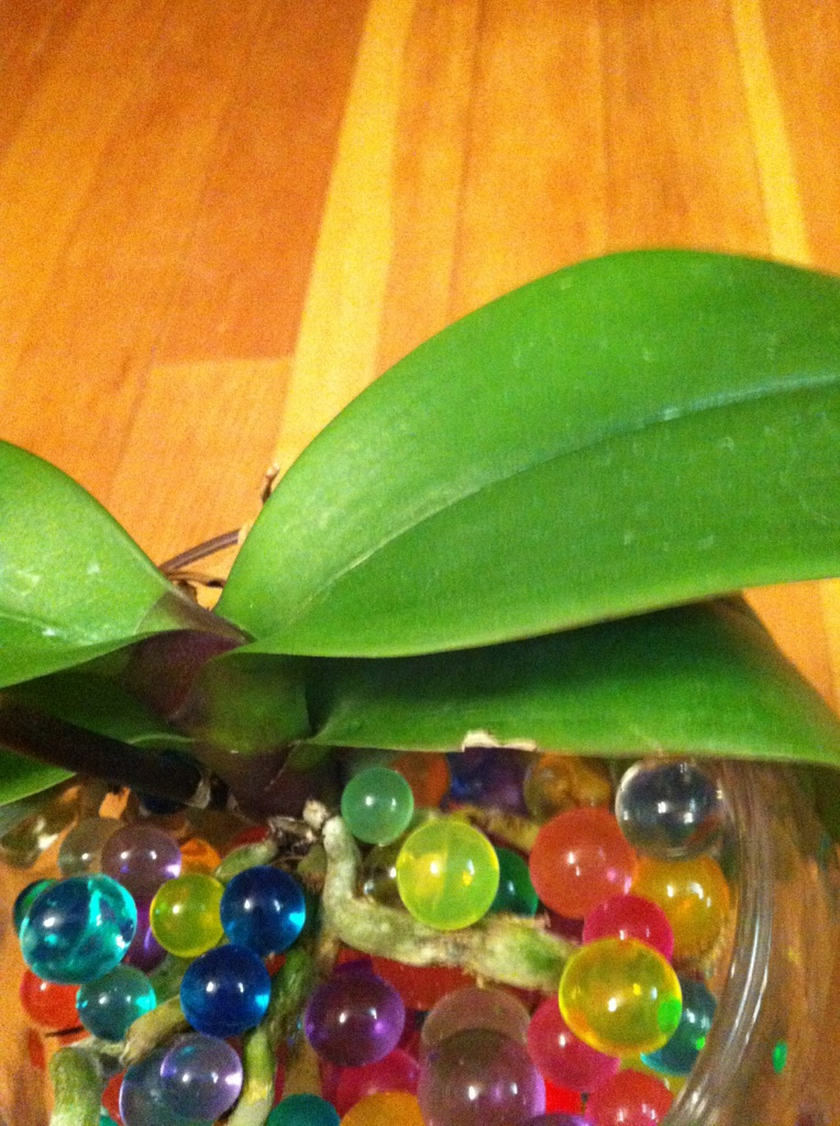 Here Is One Of Recent Recoveries This Plant Had No Roots At All When I Got It The Beads Were Prepared Same Way As With Previous Orchid